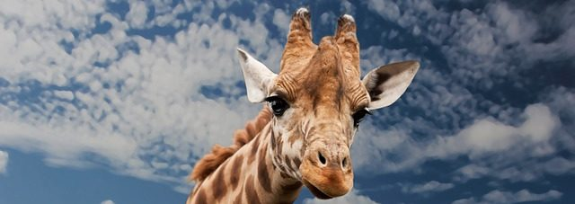 A giraffe, peering down at you.